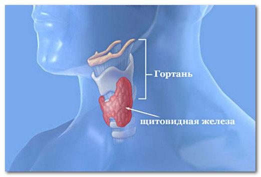 Какие гормоны вырабатывает щитовидка и какова их основная роль?