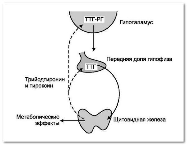 щитовидная железа гормоны и функции