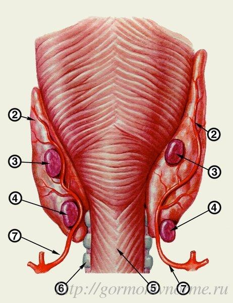 анатомическое изображение паращитовидных желез